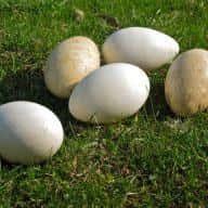 Bà Bầu Nên Ăn Trứng Ngỗng Vào Tháng Thứ Mấy?🤔 3