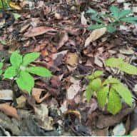 Sâm Ngọc Linh rừng có nguy cơ tuyệt chủng 14