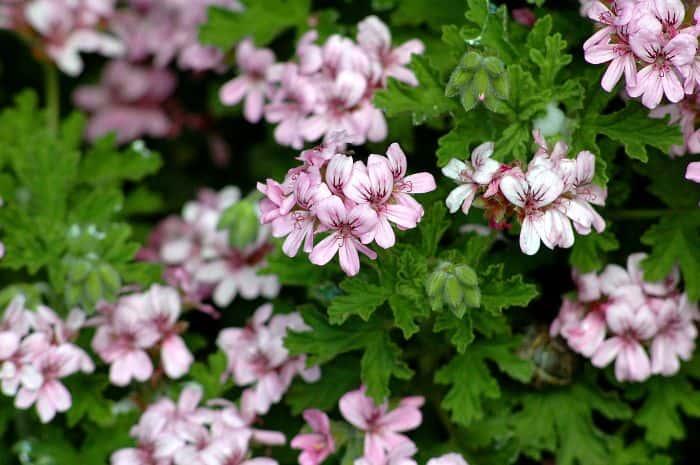 Lá và hoa để tạo ra tinh dầu Phong Lữ
