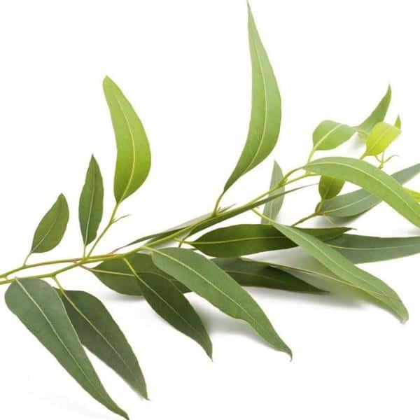 Eucalyptol chiếm tới 90% trong tinh dầucủa một số loại sản phẩm mang tên gọi chung làdầu bạch đàn